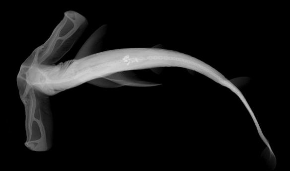 10 Hayvanın Röntgen Fotoğrafları galerisi resim 1