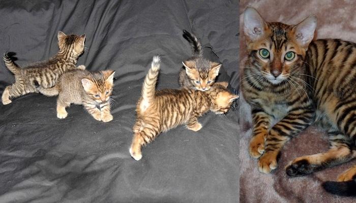 Dünyanın En Pahalı Kedi Cinsleri galerisi resim 1