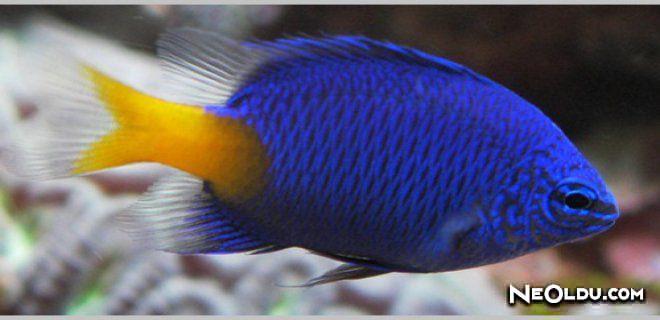 Damsel Balığı Bakımı