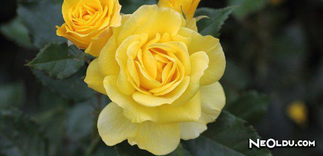 Rüyada Sarı Gül Görmek Ne Anlama Gelir