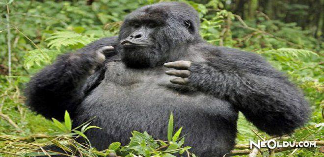 Rüyada Goril Görmek Ne Anlama Gelir?