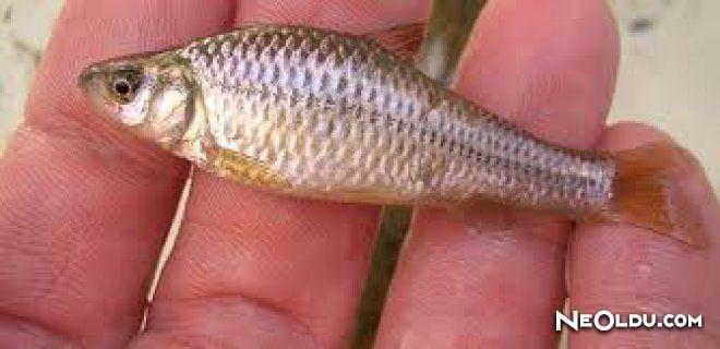 Rüyada Sazan Balığı Görmek Ne Anlama Gelir?