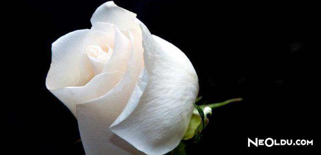 Rüyada Beyaz Gül Görmek Ne Anlama Gelir