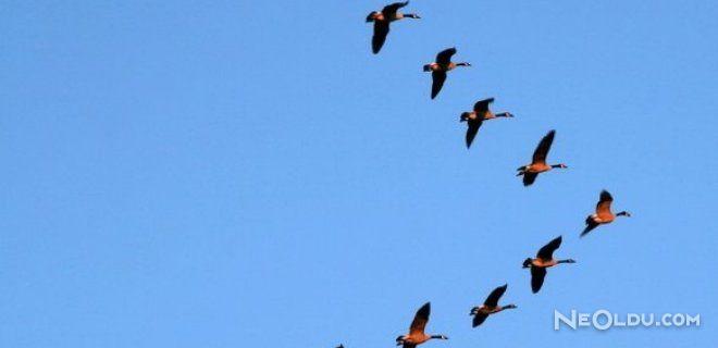 Kuşlar Neden Sürü Halinde ''V'' Şeklinde Uçar?