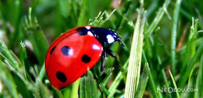 Uğur Böceği Neden Uğurlu