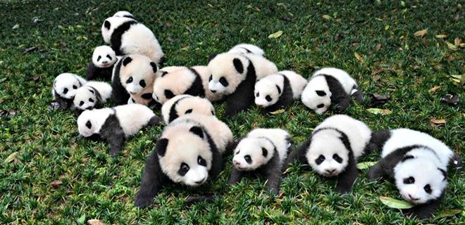 Pandaların En Eğlenceli Görüntüleri