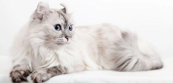 American Curl (Kıvırma) Kedisi Bakımı ve Özellikleri
