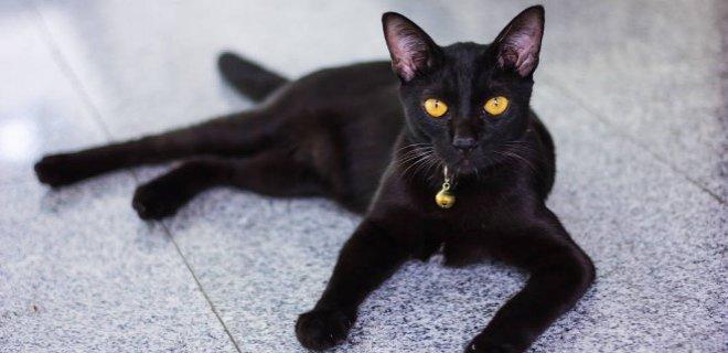 Bombay Kedisi Bakımı ve Özellikleri