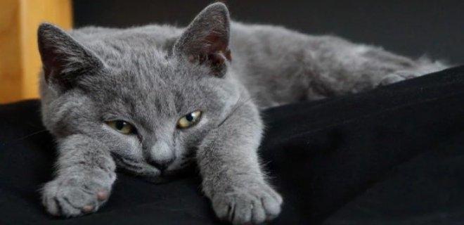Chartreux Kedisi Bakımı ve Özellikleri