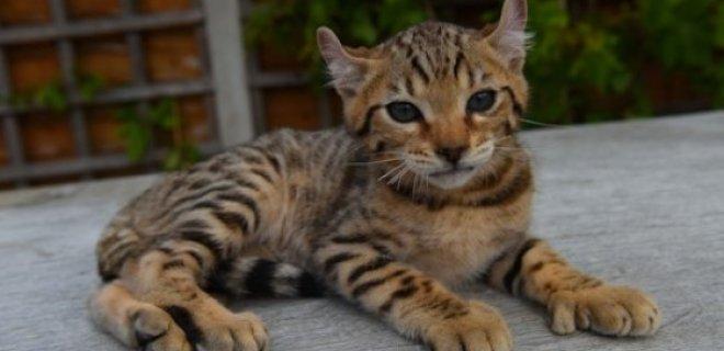 Keetso Kedisi Bakımı ve Özellikleri