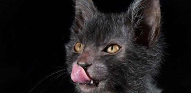 Lykoi Kedisi Bakımı ve Özellikleri