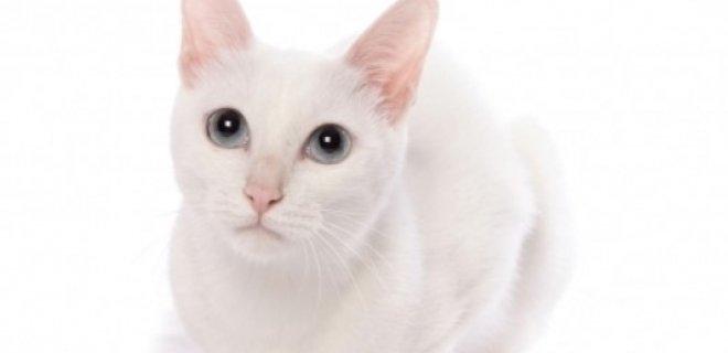 Khao Manee Kedisi Bakımı ve Özellikleri