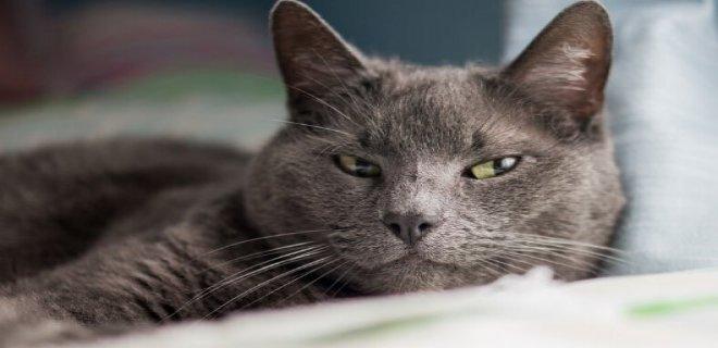 Mavi Rus Kedisi Bakımı ve Özellikleri