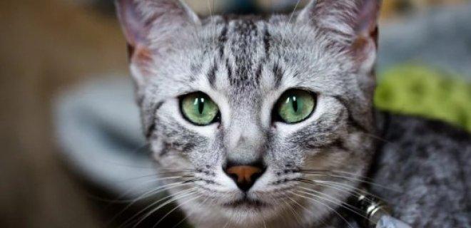 Mısır Mau Kedisi Bakımı ve Özellikleri