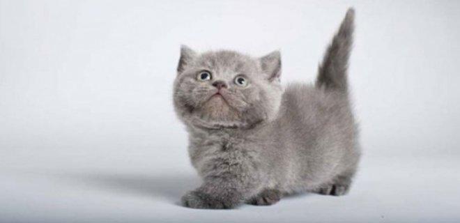 Munchkin Kedisi Bakımı ve Özellikleri