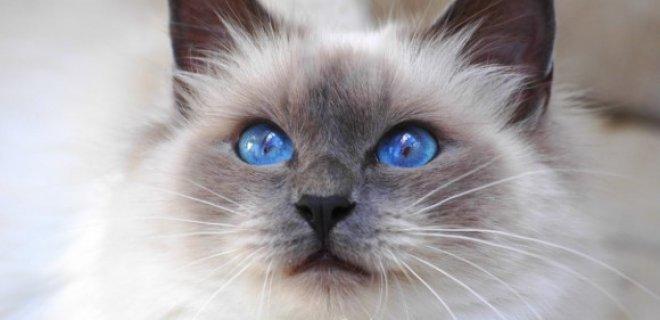 Ragdoll Kedisi Bakımı ve Özellikleri
