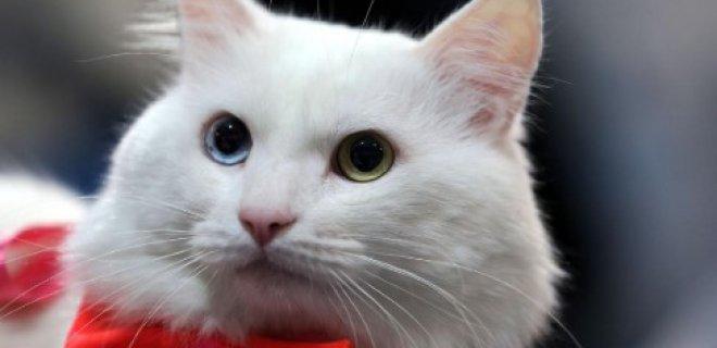 Ankara Kedisi Bakımı ve Özellikleri