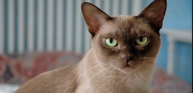 Tayland Kedisi Bakımı ve Özellikleri