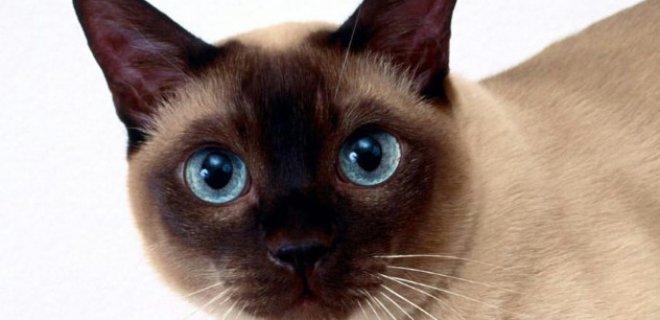 Tonkinese Kedisi Bakımı ve Özellikleri