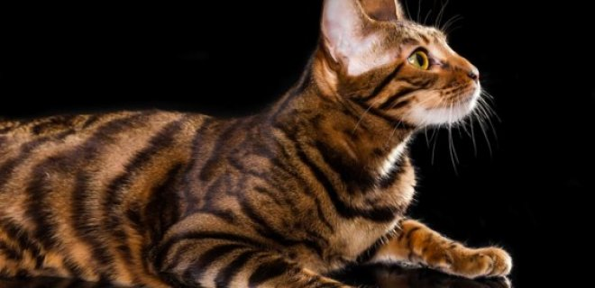 Toyger Kedisi Bakımı ve Özellikleri