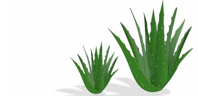Aloe Vera Bitkisinin Mucizevi Faydaları
