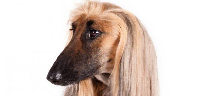 Afgan Tazı Cinsi Köpek Bakımı ve Özellikleri