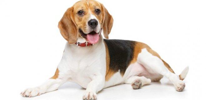 Beagle Cinsi Köpek Bakımı ve Özellikleri