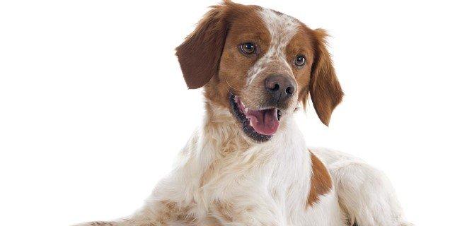 Brittany Cinsi Köpek Bakımı ve Özellikleri