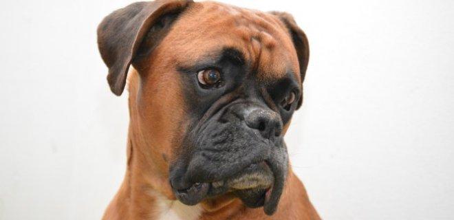 Boxer Cinsi Köpek Bakımı ve Özellikleri