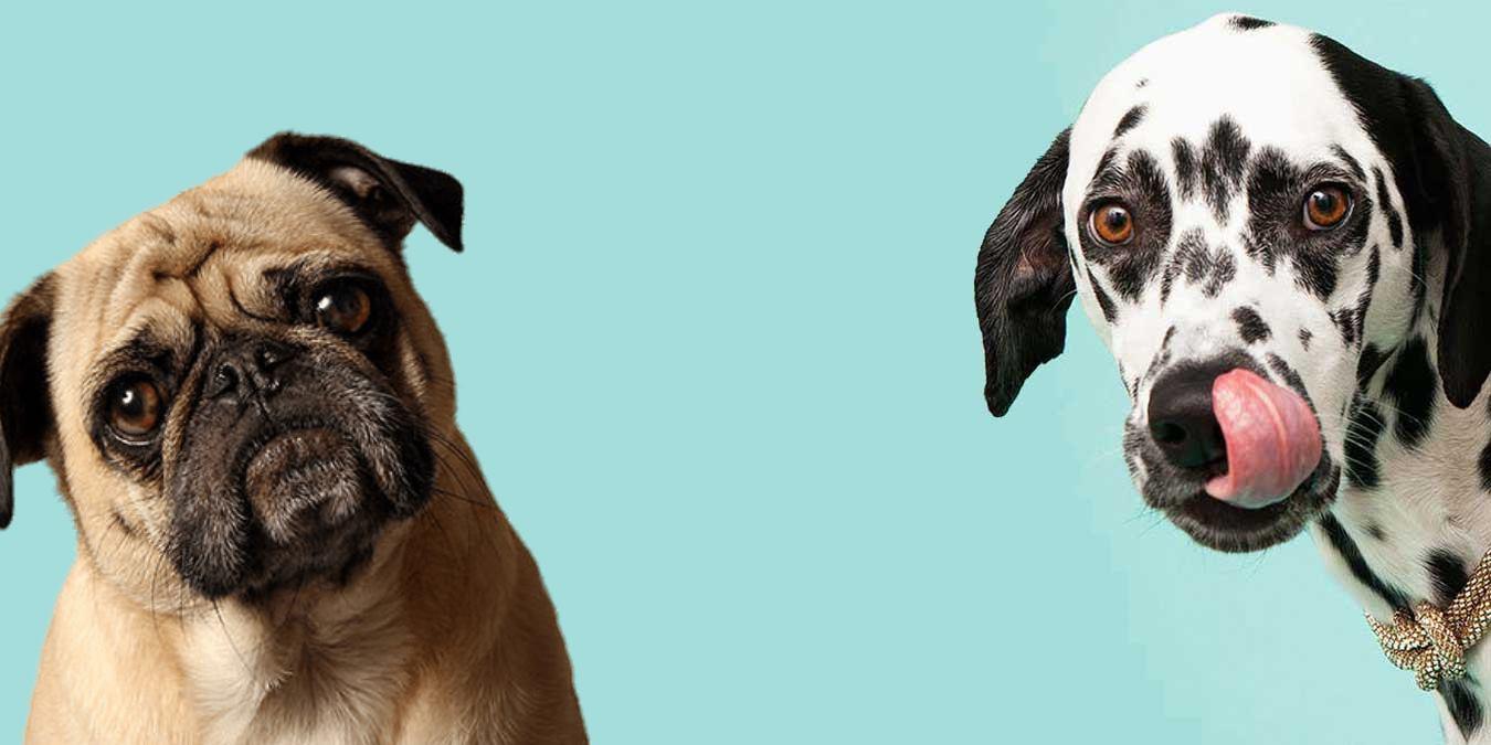 Köpekler Hakkında Şaşırtıcı 16 Bilgi!