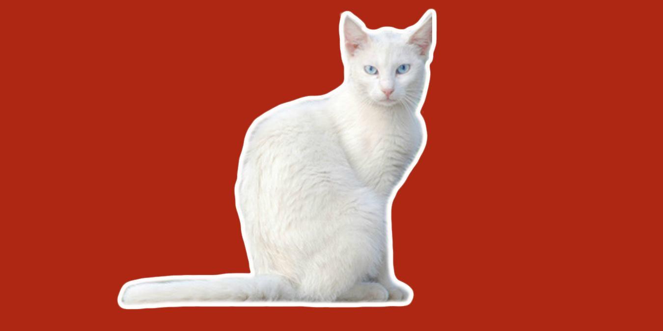 Rüyada Beyaz Kedi Görmek Ne Anlama Gelir?