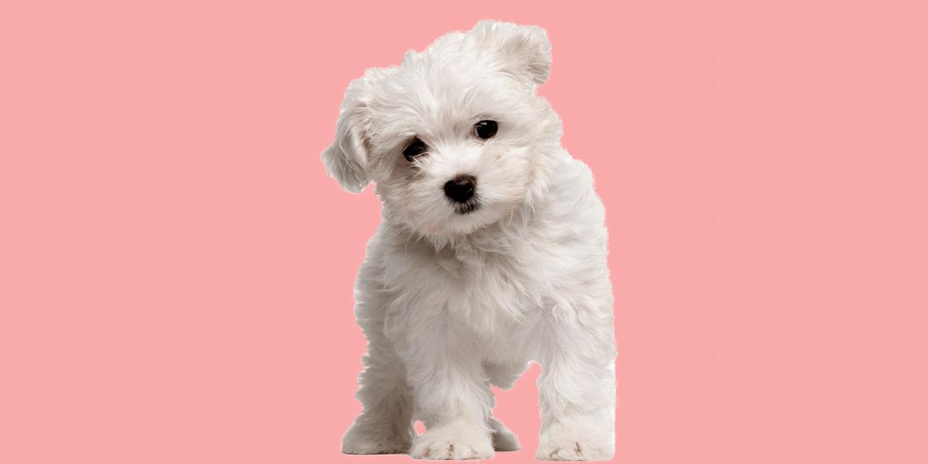 Maltese Terrier Köpeği Hakkında Bilmeniz Gereken 10 Şey