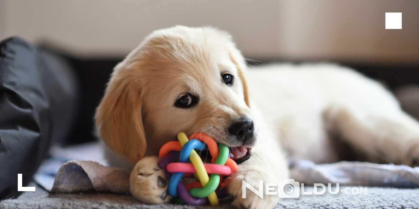 Köpeklerde Beyin Gelişimi: Köpekler İçin En İyi 5 Zeka Oyuncağı