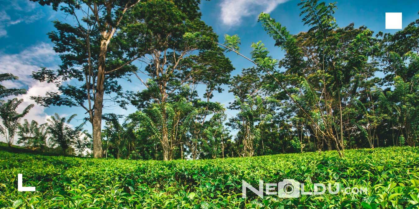 Çay Ağacı Yaprağı Yağının Saça Faydaları Nelerdir, Nasıl Kullanılır?
