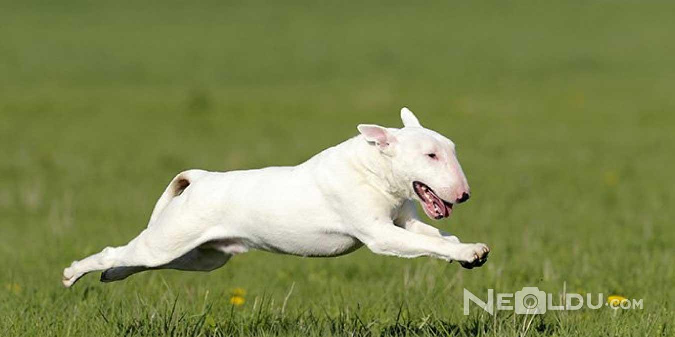 Bull Terrier Cinsi Köpek Bakımı ve Özellikleri