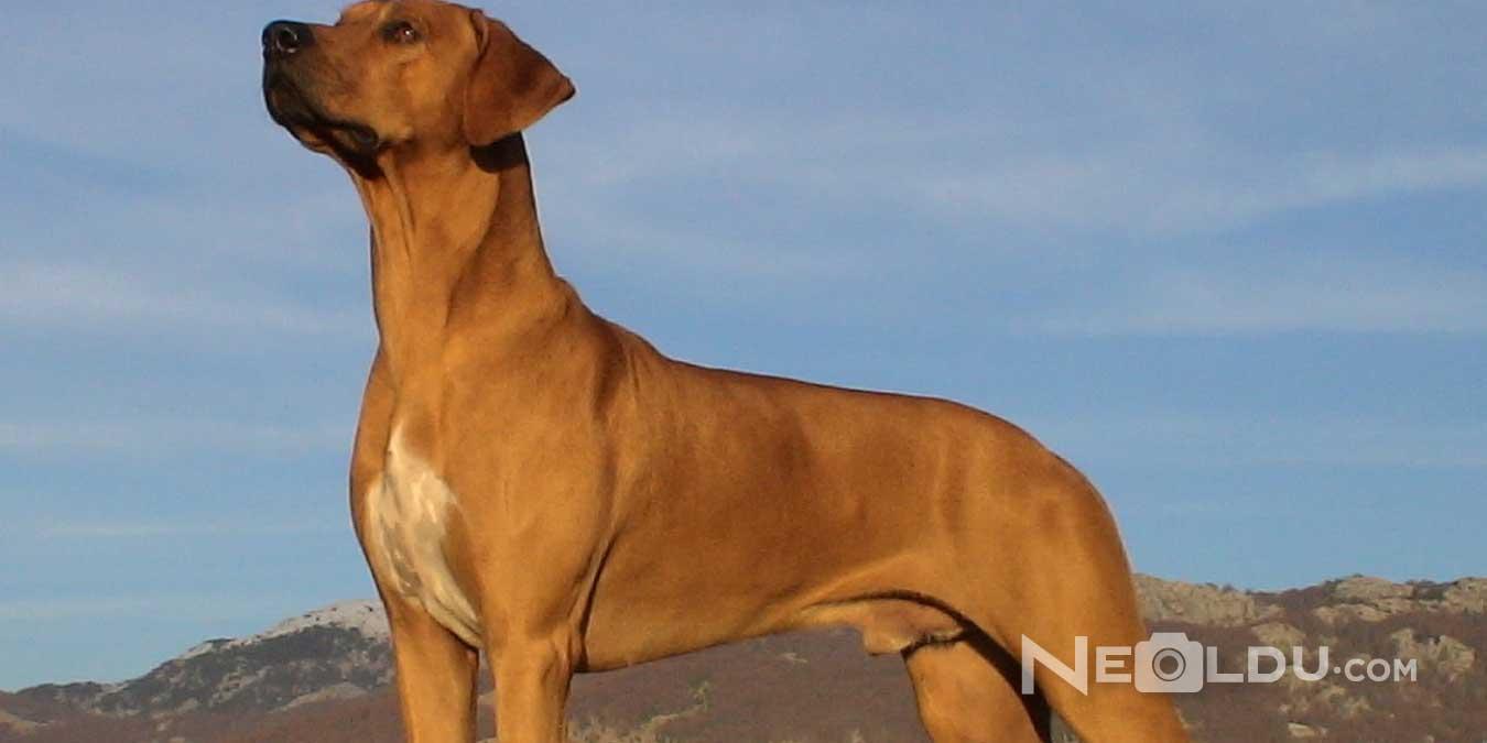 Rhodesian Ridgeback Cinsi Köpek Bakımı ve Özellikleri