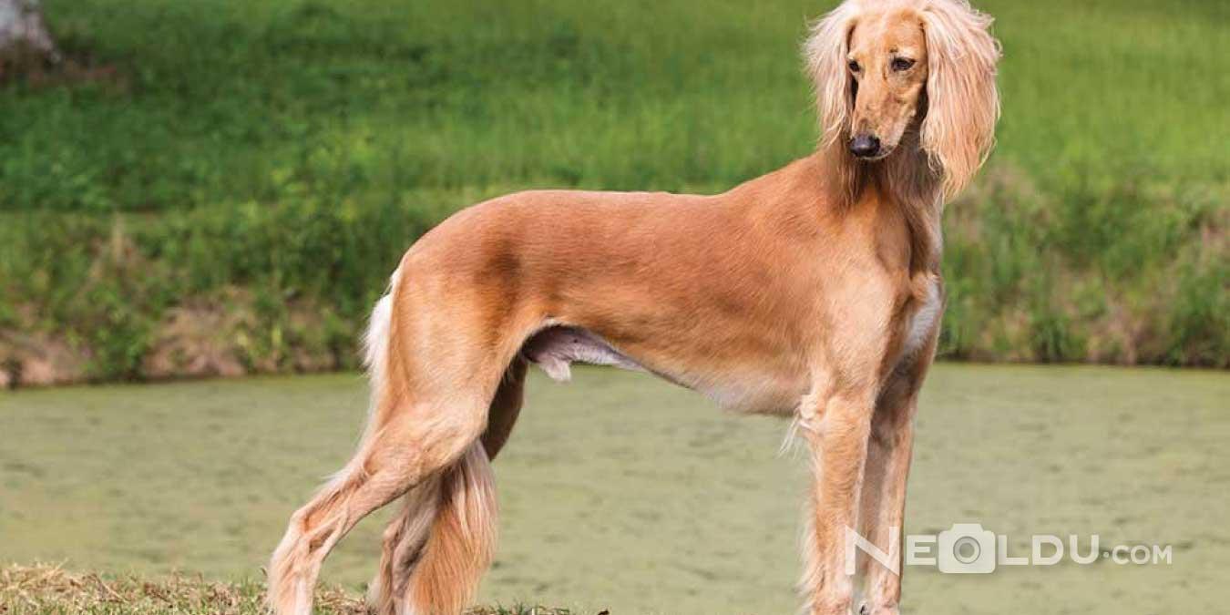 Saluki (Gazal Tazısı) Köpek Bakımı ve Özellikleri
