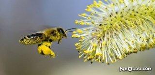 Arı Poleni ve Faydaları