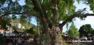 Antakya Hz. Musa Ağacı ve Hikayesi