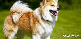 En İyi Koruma Köpekleri Cinsleri ve Özellikleri