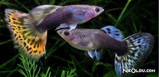 Lepistes Balığı Bakımı