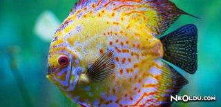 Discus Balığı Bakımı