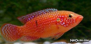 Mücevher Balığı Bakımı