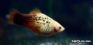 Plati Balığı Bakımı