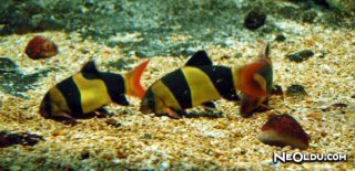 Makrakanta Balığı Bakımı