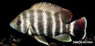 Zebra Balığı Bakımı