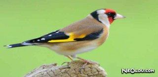 Saka Kuşu Bakımı