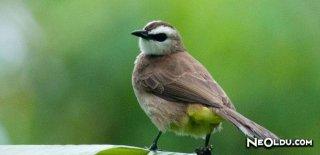 Bülbül Kuşu Bakımı