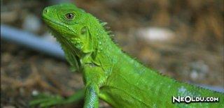 İguana Bakımı