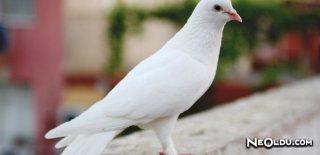 Güvercin Bakımı